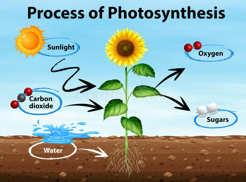 Diagram showing process of photosynthesis. Illustration stock illustration