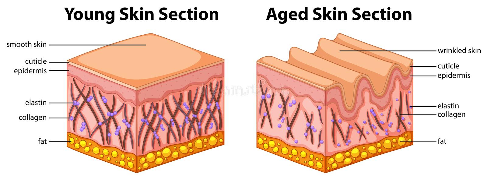 Diagram showing young and aged skin stock illustration