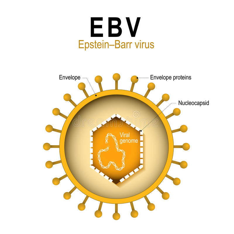 Diagram of the structure of EBV. Epstein–Barr virus EBV. human herpesvirus 4 HHV. diagram of the structure of human herpes virus. the cause of infectious vector illustration