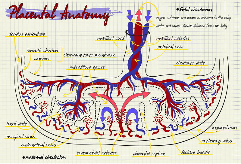 Diagram of the structure of human placenta stock illustration