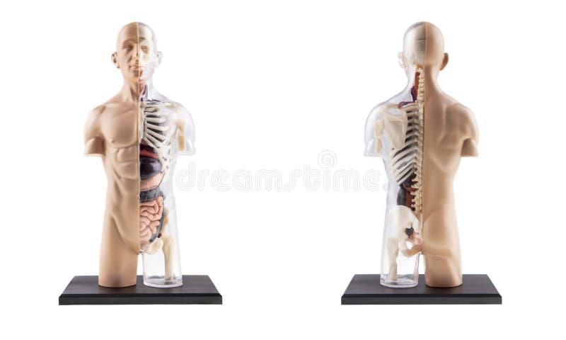 Diagram tvärsnitt av människokroppen royaltyfria bilder