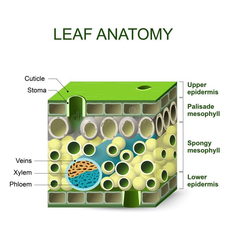 Diagram van bladstructuur stock illustratie