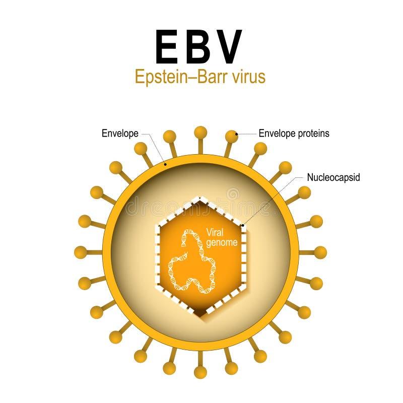 Diagram van de structuur van EBV vector illustratie
