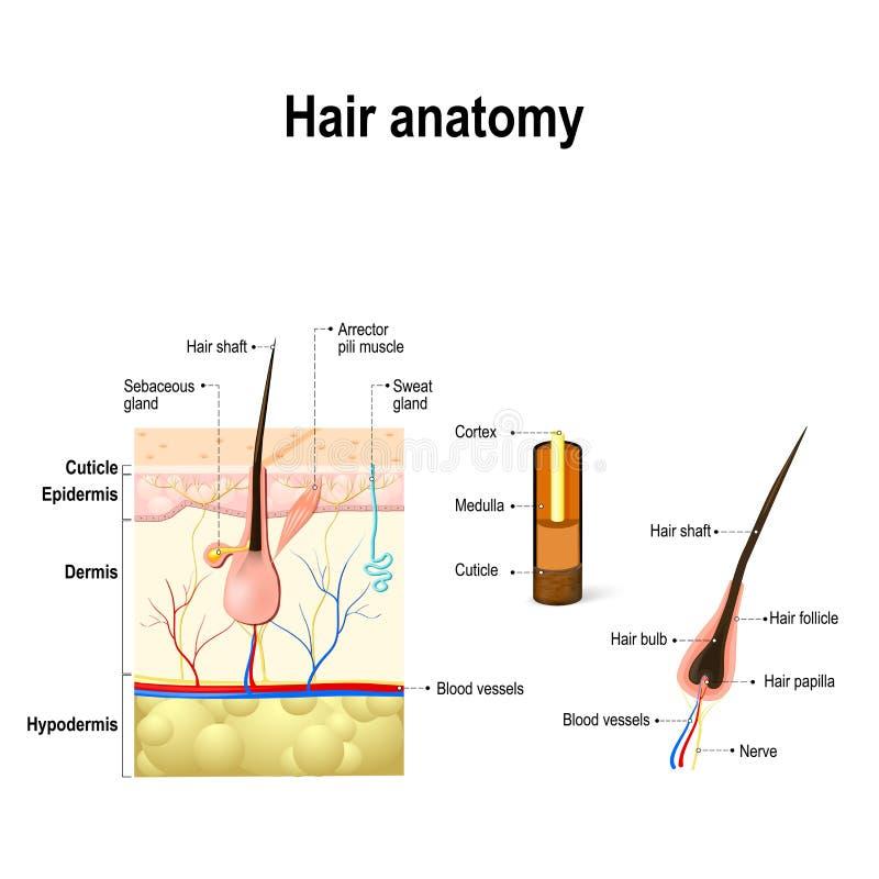 Diagram van een haarfollikel in een dwarsdoorsnede van huidlagen vector illustratie