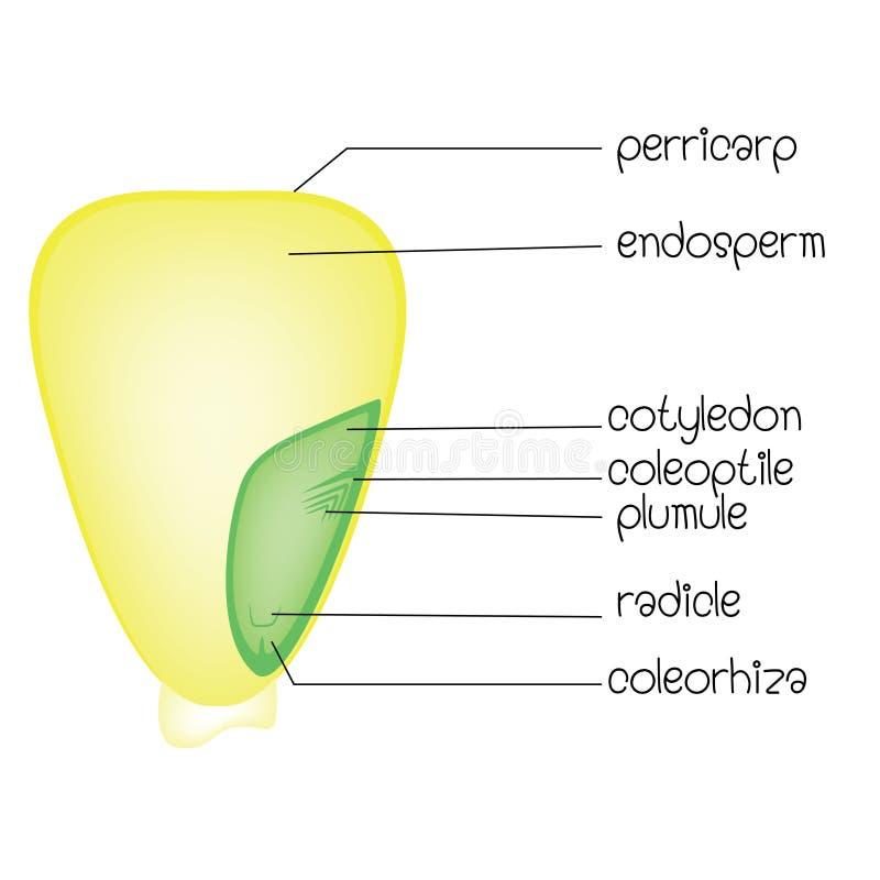 Diagram van een monocotyledonzaad stock illustratie