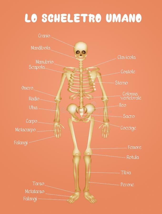 Diagram van het menselijke skelet vector illustratie