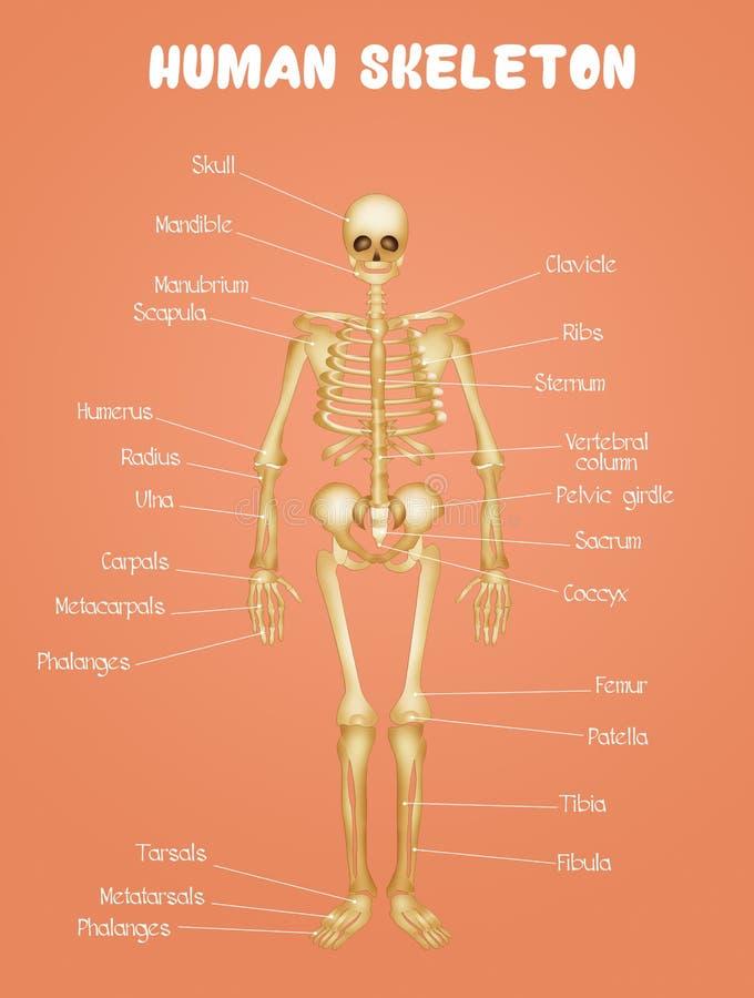 Diagram van het menselijke skelet stock illustratie