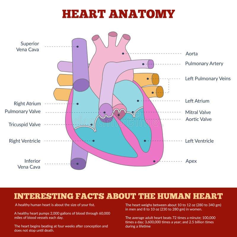 Diagram van menselijke hartanatomie royalty-vrije illustratie