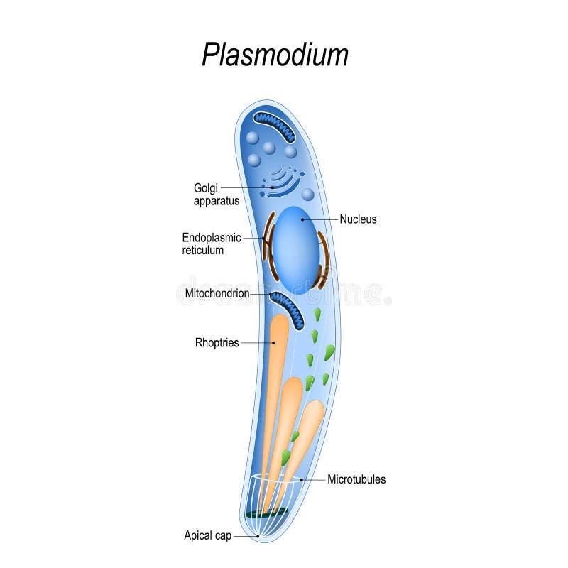 Diagram van Plasmodium-structuur vector illustratie