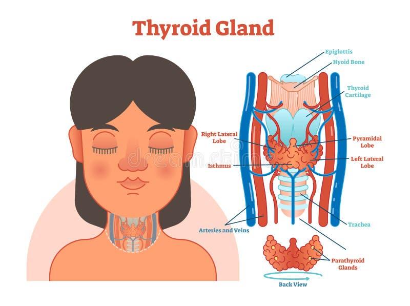 Diagrama Anatómico Del Ejemplo Del Vector De La Glándula Tiroides ...