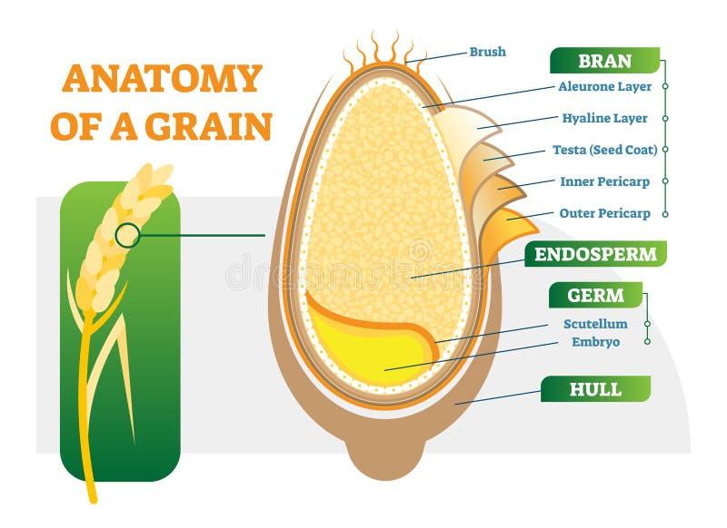 Diagrama anatómico del ejemplo del vector de las capas del grano libre illustration