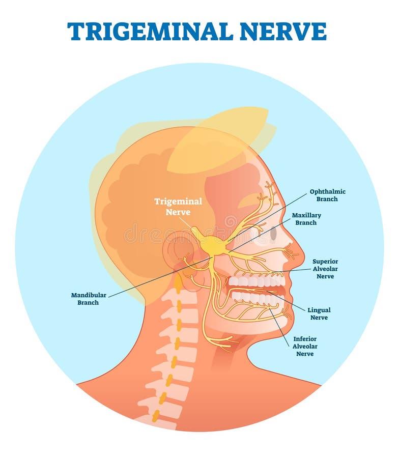 Diagrama anatómico del ejemplo del vector del nervio de Trigeminal con el corte transversal de la cabeza humana ilustración del vector