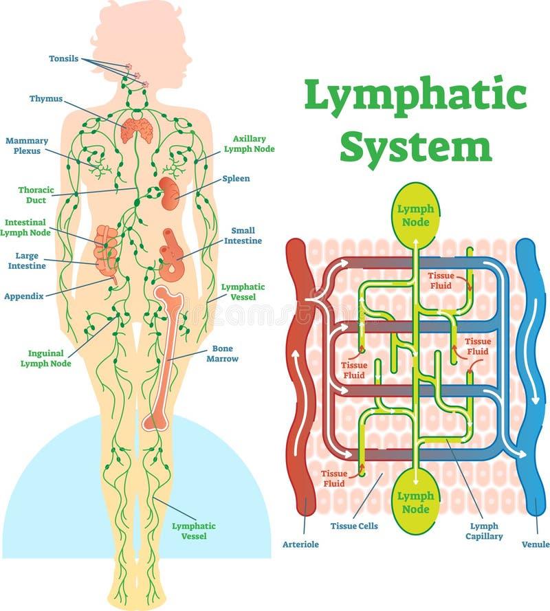 Diagrama anatômico da ilustração do vetor do sistema linfático, esquema médico educacional ilustração do vetor