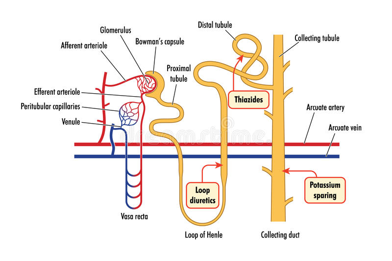 Diagrama da ação renal da droga ilustração do vetor