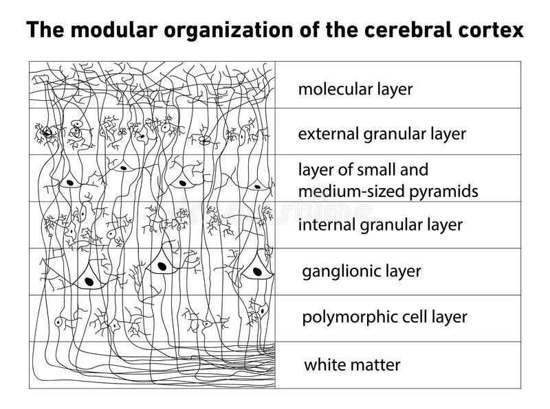 Diagrama da estrutura do córtice cerebral ilustração stock