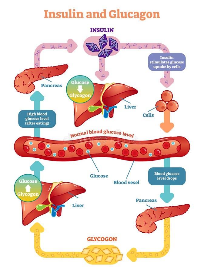 Diagrama da ilustração do vetor da insulina e do glucagon Informação médica educacional ilustração royalty free