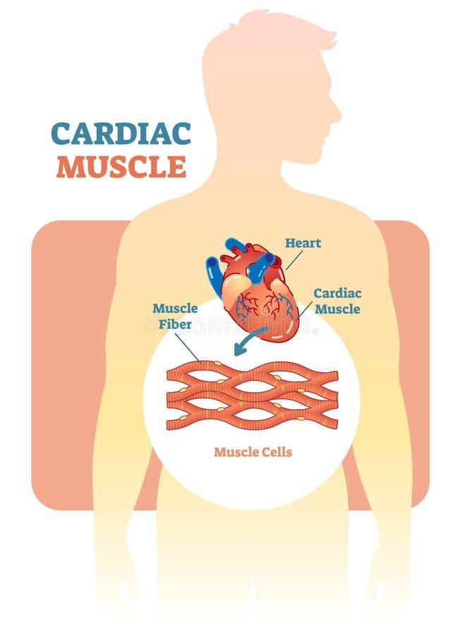 Diagrama da ilustração do vetor do músculo cardíaco, esquema anatômico com coração humano ilustração do vetor