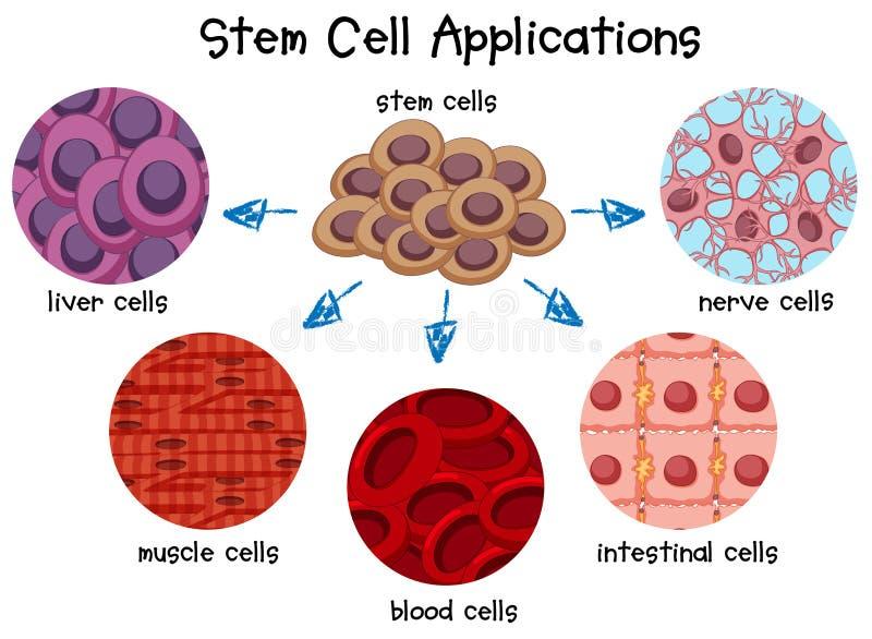 Diagrama de diversas células madres ilustración del vector