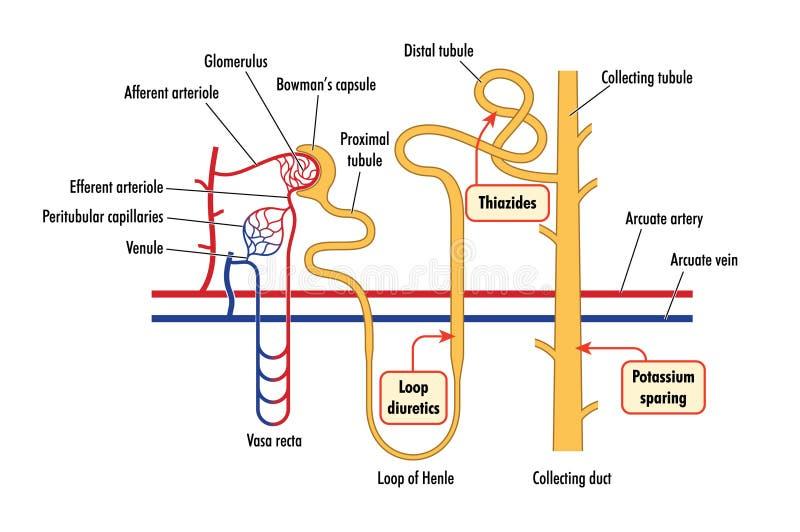 Diagrama de la acción renal de la droga ilustración del vector