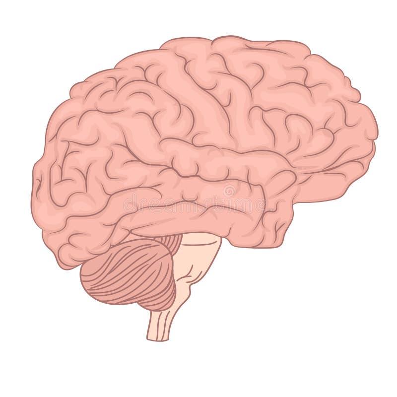 Diagrama de la anatomía del órgano del cerebro humano Diseño colorido Vista lateral Vector ilustración del vector