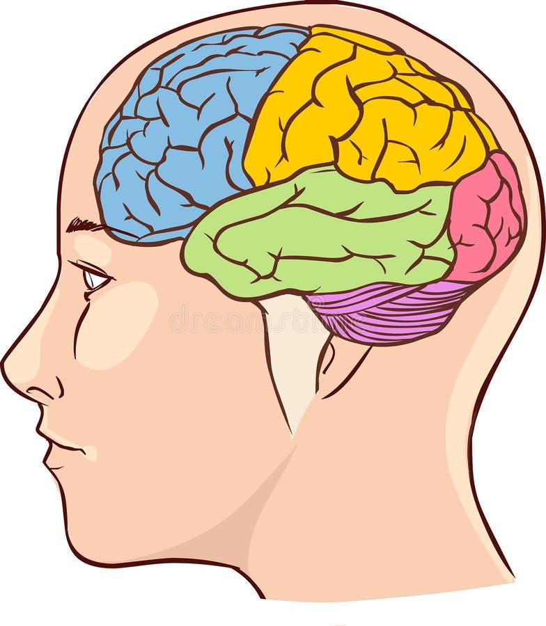 Diagrama De La Anatomía Del Cerebro Con Seccionado En Diversos ...