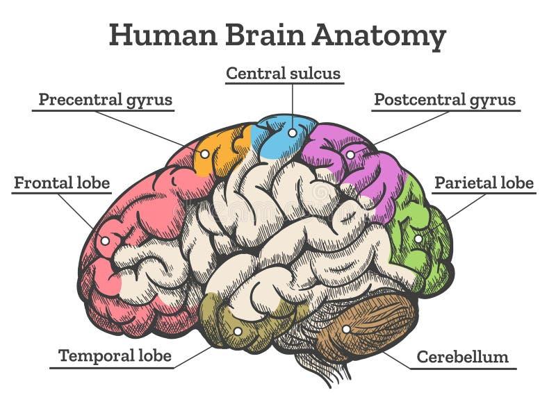 Diagrama de la anatomía del cerebro humano ilustración del vector