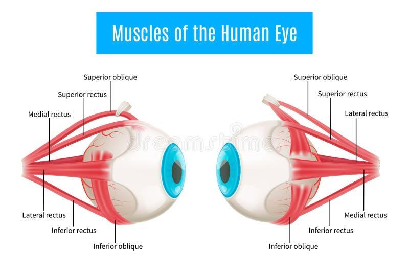 Diagrama de la anatomía del ojo humano ilustración del vector