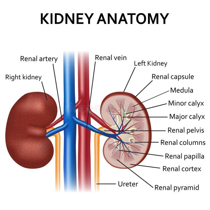Diagrama de la anatomía humana del riñón ilustración del vector