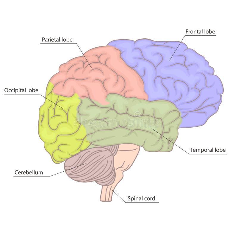 Diagrama de la anatomía de las piezas del órgano del cerebro humano Diseño colorido Vista lateral Vector ilustración del vector