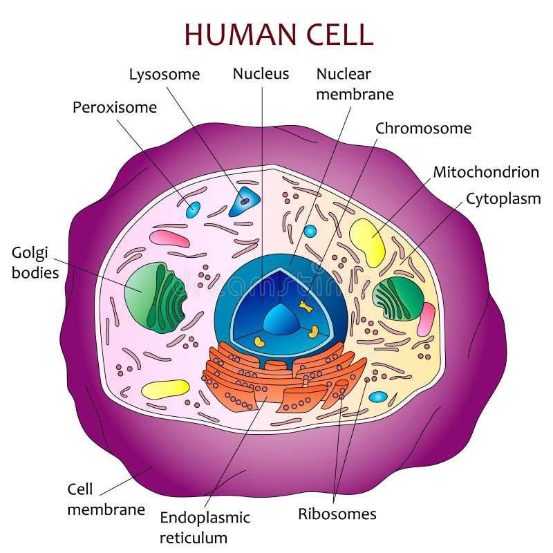 Diagrama De La Célula Humana Ilustración del Vector - Ilustración de ...