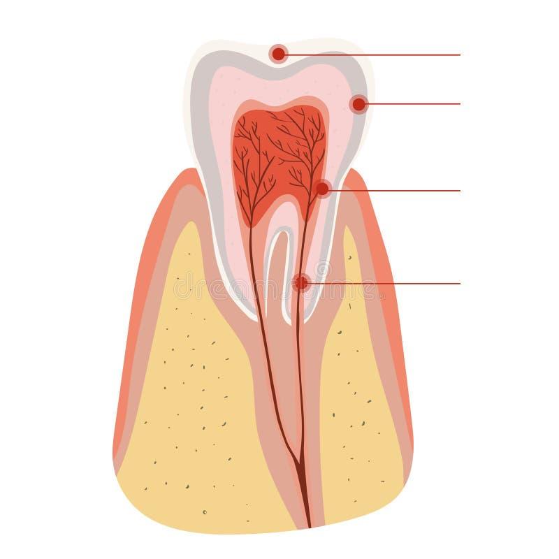 Diagrama de la estructura del diente de la incisión del diente Plantilla del vector aislada en el fondo blanco stock de ilustración