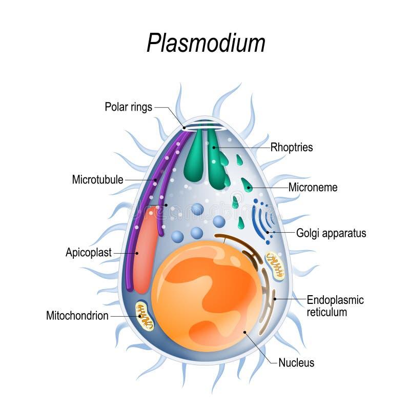 Diagrama de la estructura de los merozoites del Plasmodium stock de ilustración