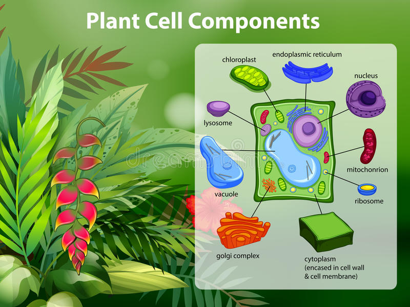 Diagrama de los componentes de la célula de la planta ilustración del vector