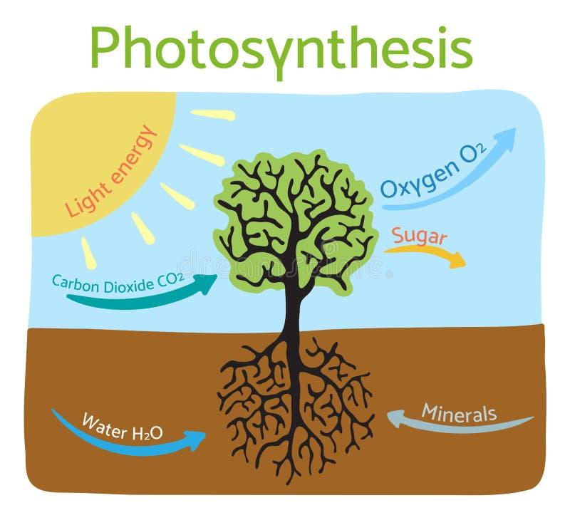 Diagrama de proceso de la fotosíntesis Ejemplo esquemático del vector libre illustration