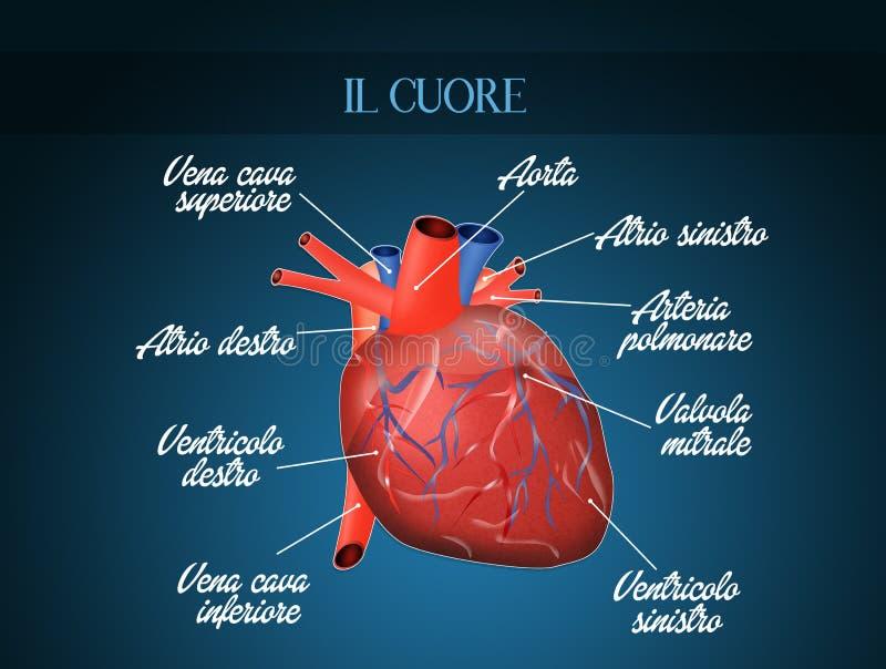 Diagrama de sistema de Cardiocirculatory ilustração do vetor