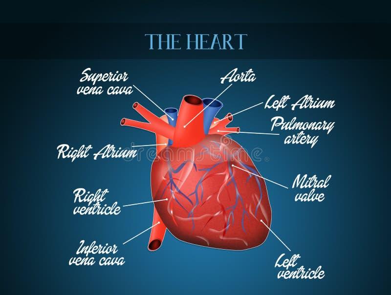 Diagrama de sistema de Cardiocirculatory ilustração royalty free