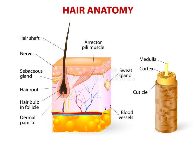 Diagrama de um folículo de cabelo em um seção transversal de s ilustração do vetor