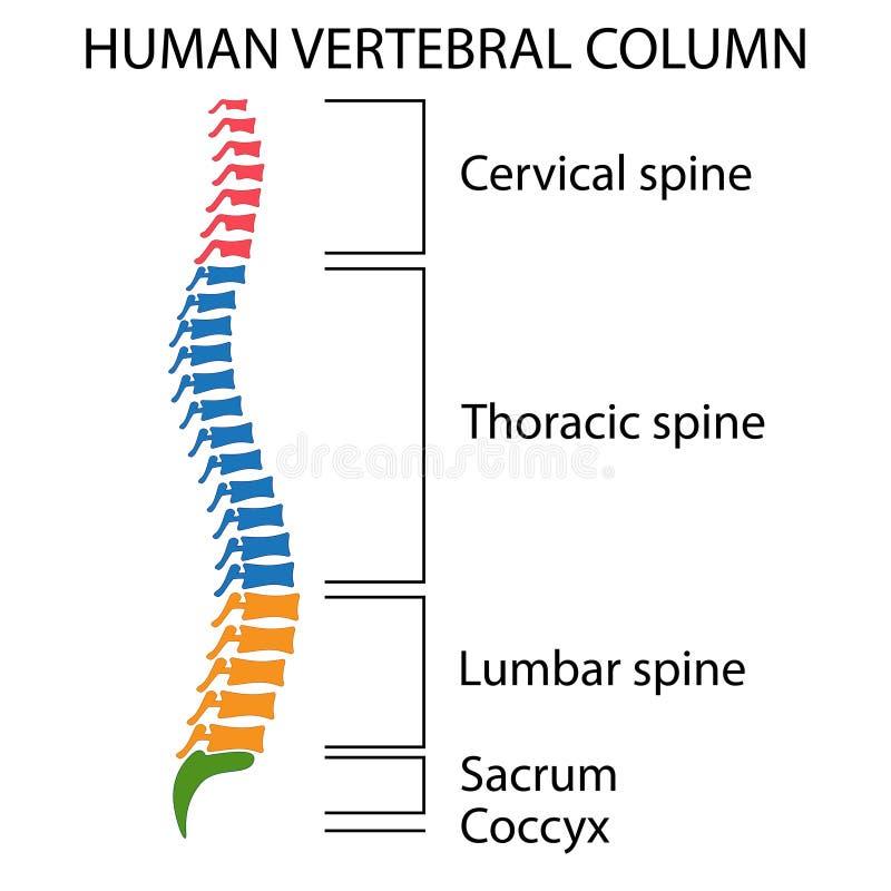 Diagrama de uma espinha humana ilustração royalty free