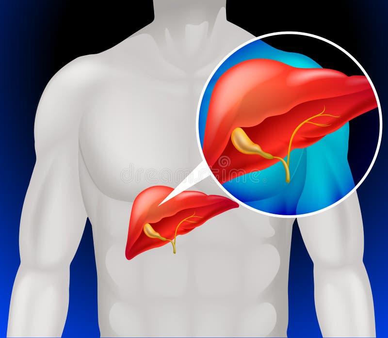 Diagrama del cáncer de hígado detalladamente libre illustration