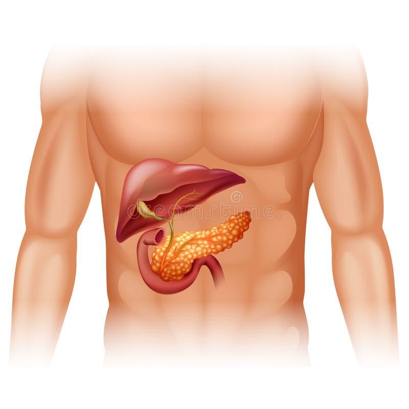 Diagrama del cáncer del páncreas detalladamente stock de ilustración