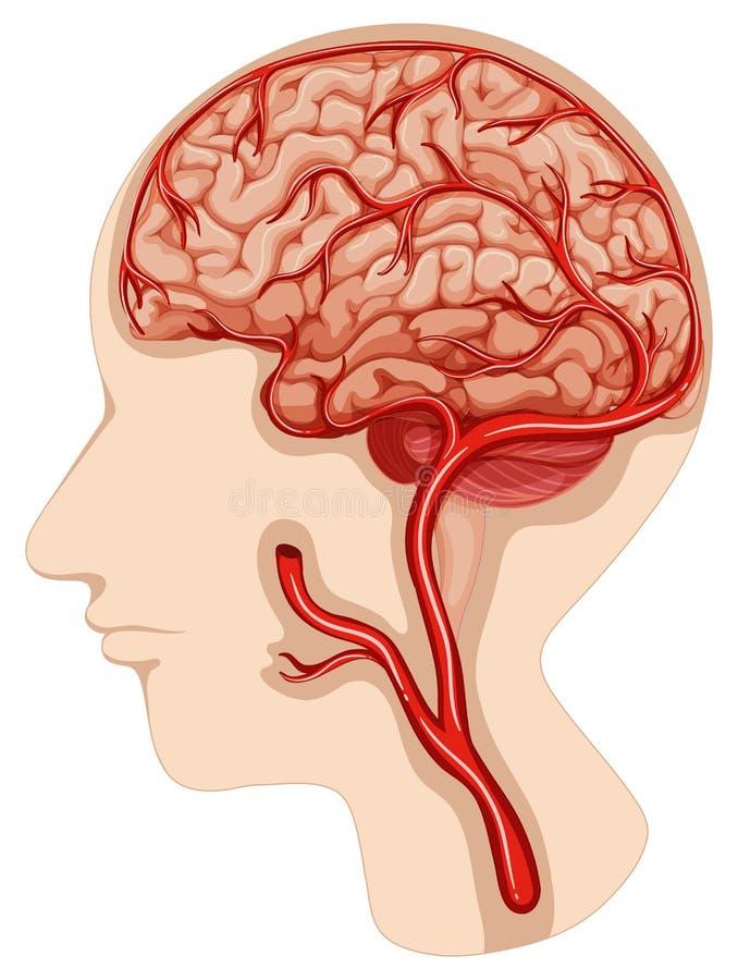 Excelente Diagrama Cerebro En Blanco Modelo - Imágenes de Anatomía ...