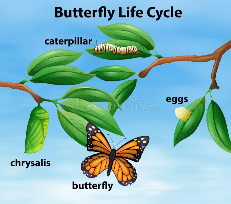 Diagrama del ciclo de vida de la mariposa stock de ilustración