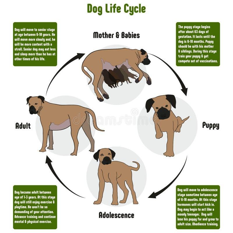 Diagrama del ciclo de vida del perro stock de ilustración