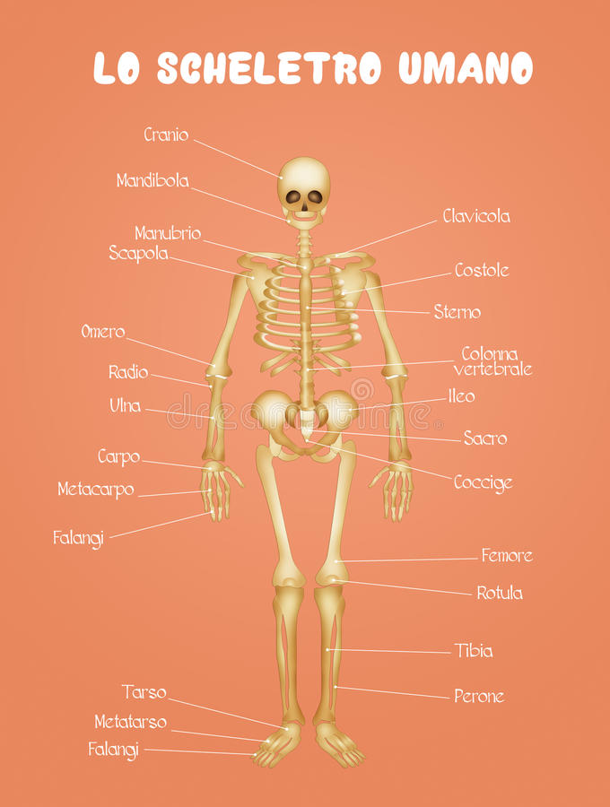 Diagrama Del Esqueleto Humano Stock de ilustración - Ilustración de ...