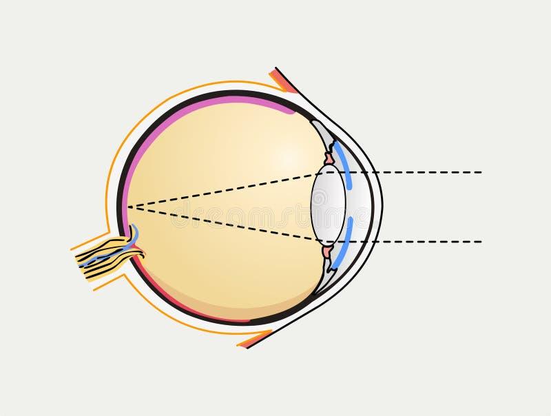 Diagrama del ojo humano ilustración del vector. Ilustración de ...
