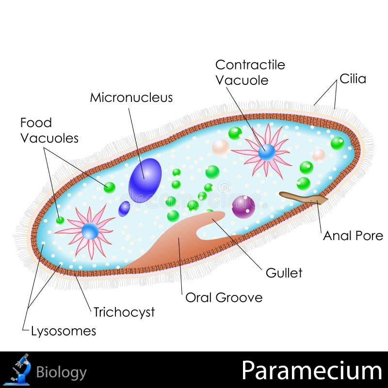 Diagrama del Paramecium stock de ilustración