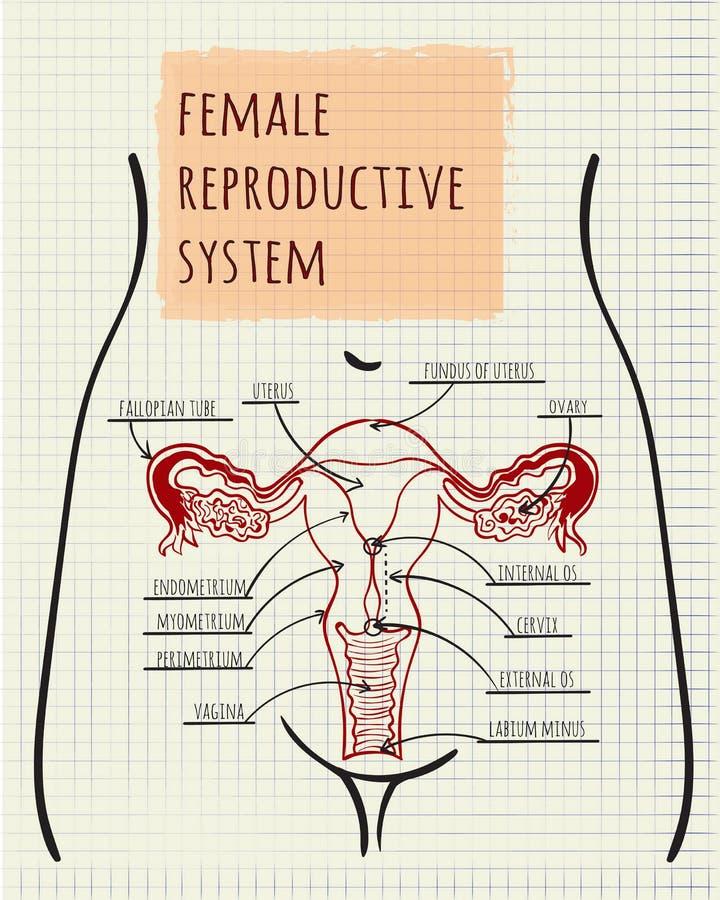 Diagrama Del Sistema Reproductivo Femenino Ilustración del Vector ...