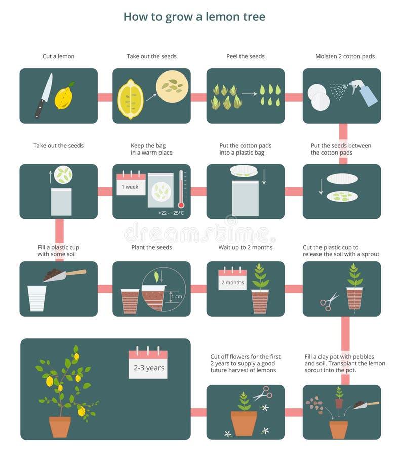Diagrama del vector cómo crecer un árbol de limón stock de ilustración