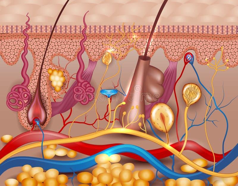 Diagrama detalhado da pele humana ilustração royalty free