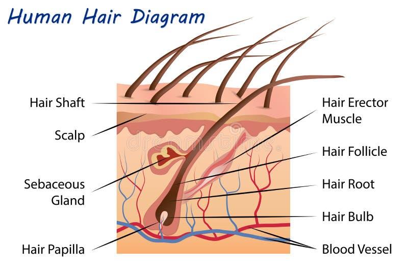 Diagrama do cabelo humano ilustração royalty free